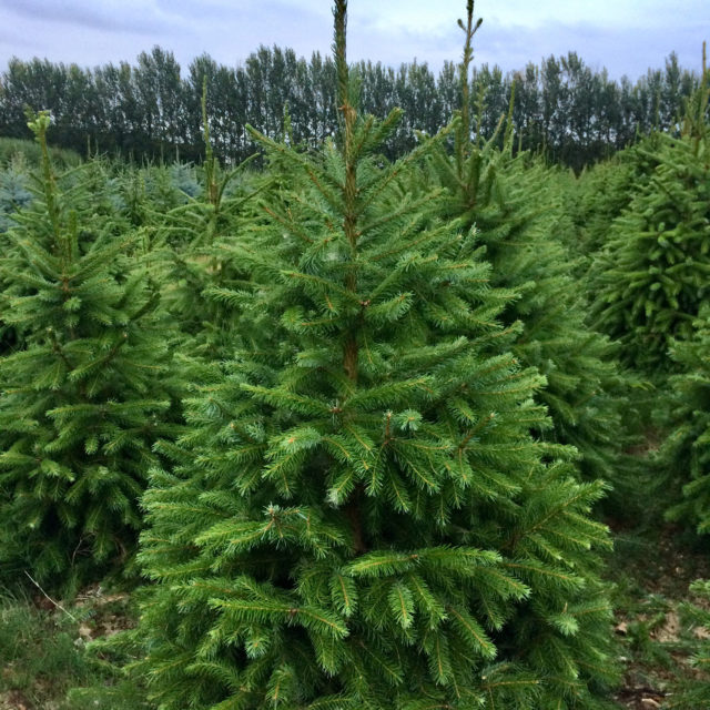 Norway Spruce Tree Plantation